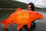 goldfish: a lesson inpet-owning